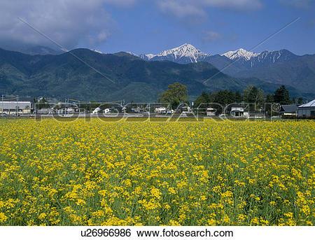 Stock Images of Rape Blossoms, Azumino, Nagano, Japan u26966986.