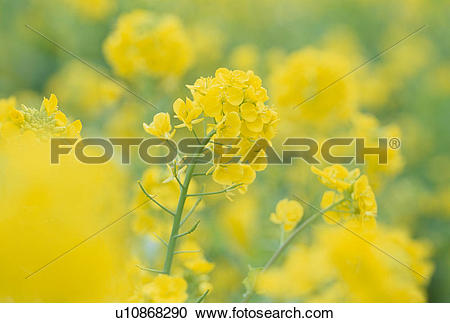 Stock Photography of Rape Blossoms u10868290.