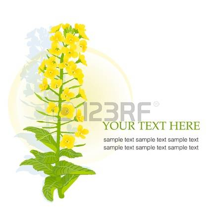 80 Rape Flower Stock Vector Illustration And Royalty Free Rape.