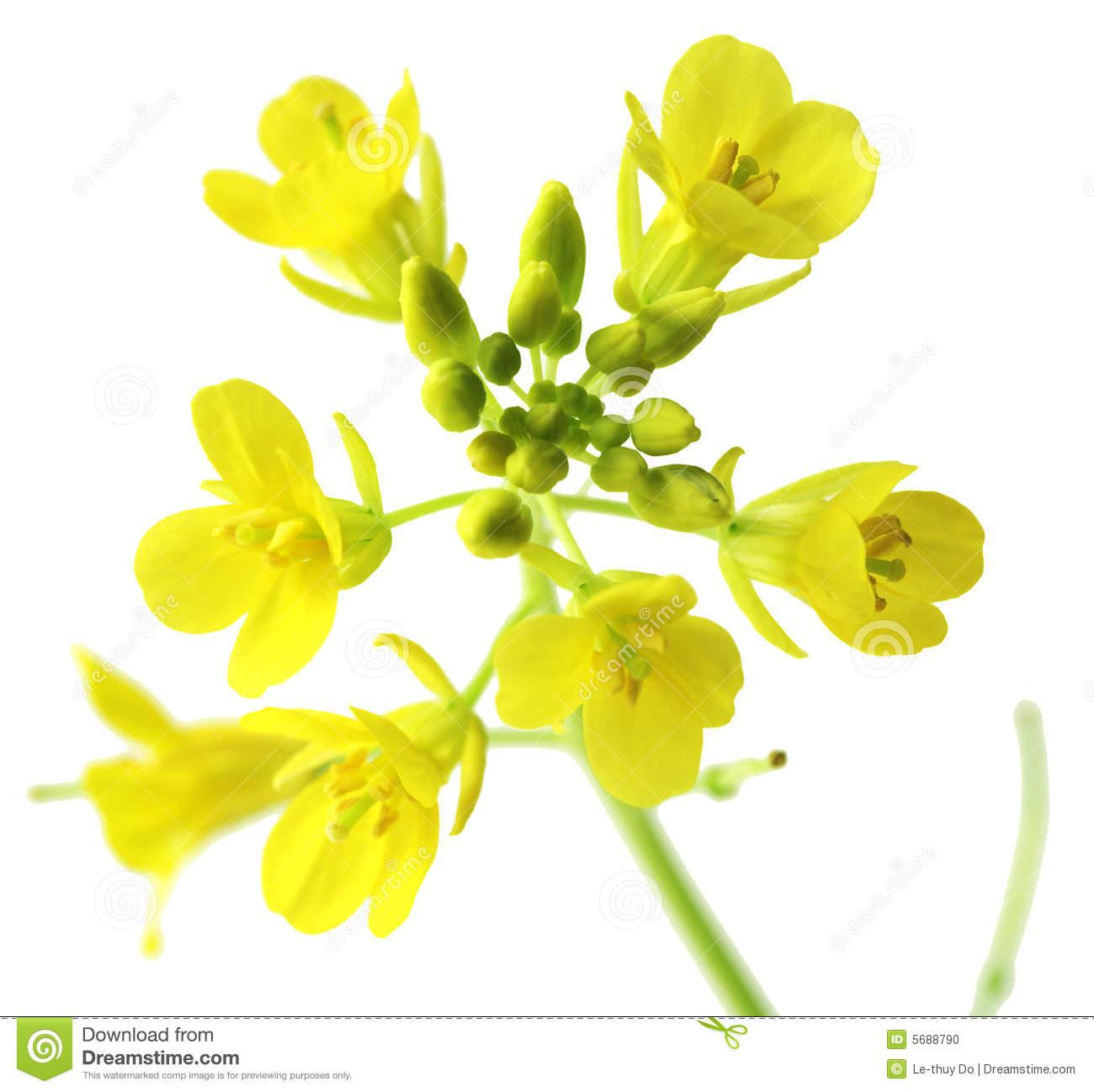 Rape Plant Closeup Stock Photos, Images, & Pictures.