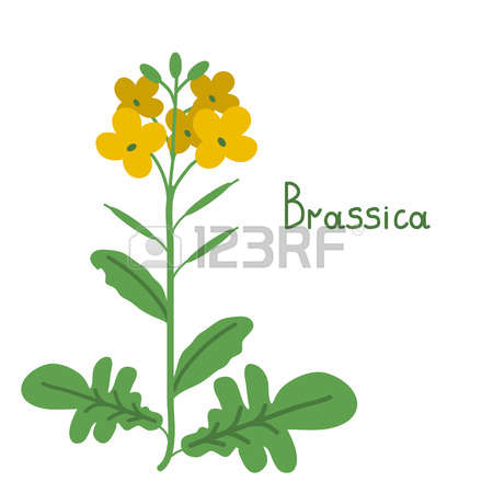 99 Rapeseed Stock Vector Illustration And Royalty Free Rapeseed.