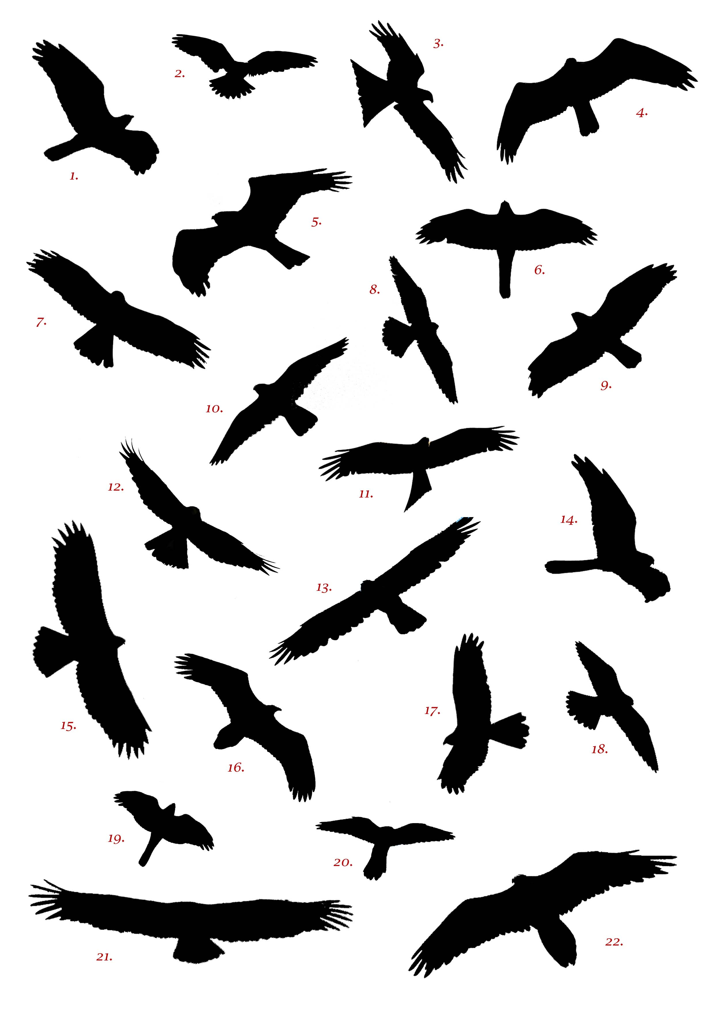 Spanish Raptor Silhouette Competition   Birding In Spain Blog.
