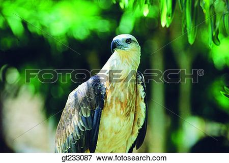 Picture of bird, birds, fowlsfowl, eagle, accipitral, raptorial.
