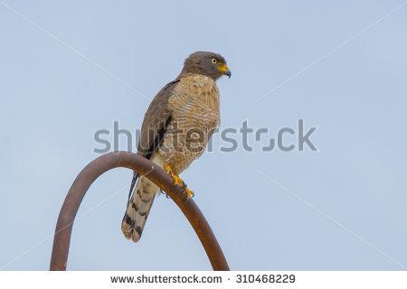 Raptorial Bird Stock Photos, Royalty.