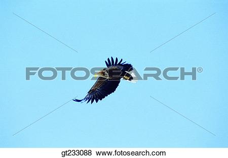 Pictures of bird, birds, fowlsfowl, eagle, accipitral, raptorial.