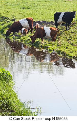 Stock Images of Dutch Belted or Lakenvelder cows.