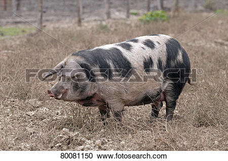 Stock Photography of AUT, 2009: Domestic Pig, Turopolje pig (Sus.