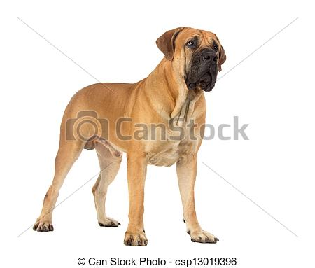 Stock Photographs of Rare breed South African boerboel posing in.