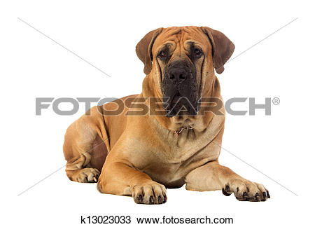 Stock Photo of Rare breed South African boerboel posing in studio.