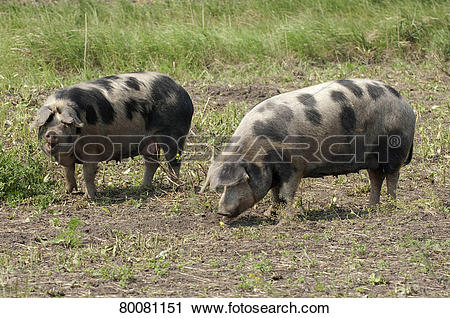 Stock Photography of AUT, 2011: Domestic Pig, Turopolje pig (Sus.