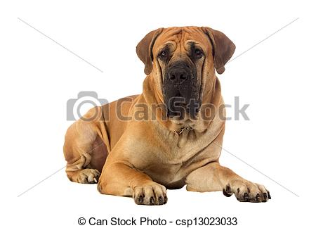 Stock Photos of Rare breed South African boerboel posing in studio.