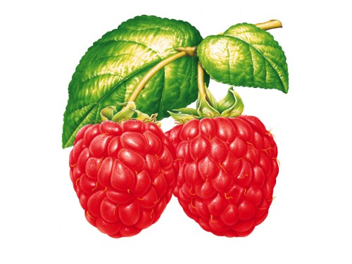 Related Keywords & Suggestions for Raspberries Clipart.