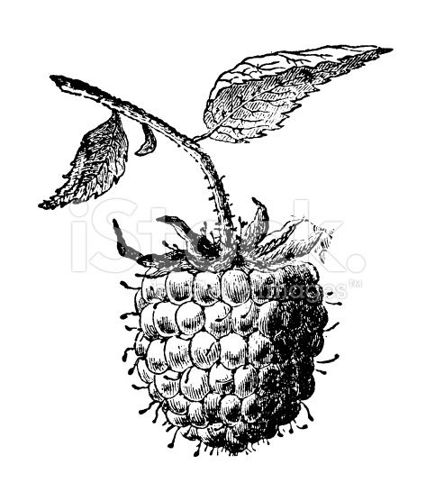 Antique engraving of a raspberry fruit. Published in.