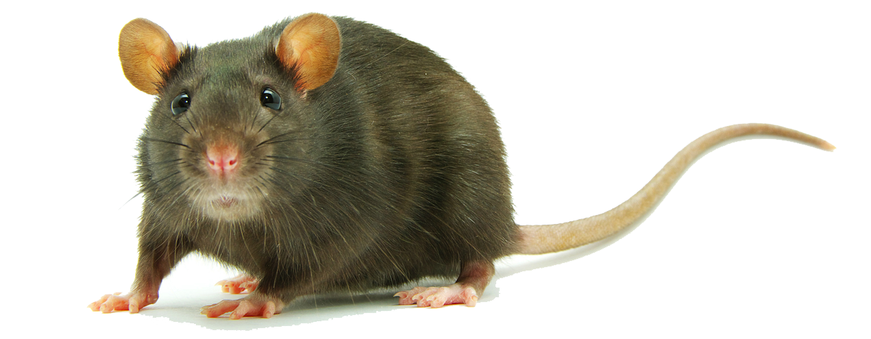 Rat PNG Images Transparent Free Download.