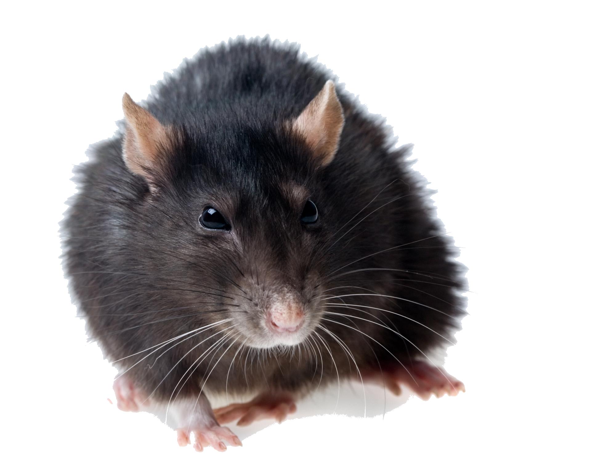 Rat PNG Images Transparent Free Download.
