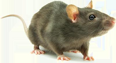 Rat PNG HD Transparent Rat HD.PNG Images..