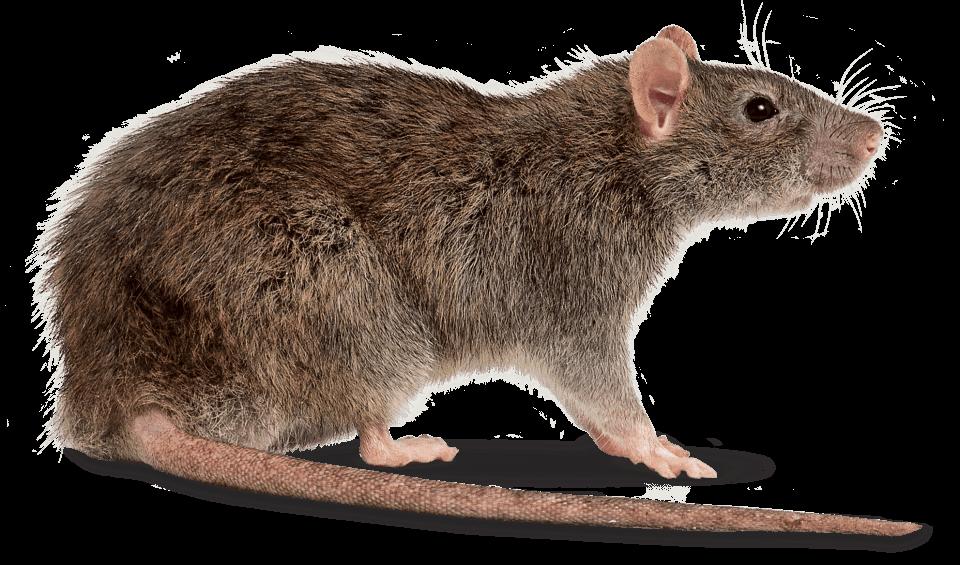 Rat Right transparent PNG.