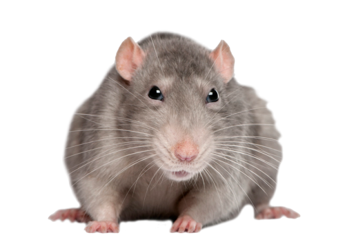 Rat PNG Transparent Images.