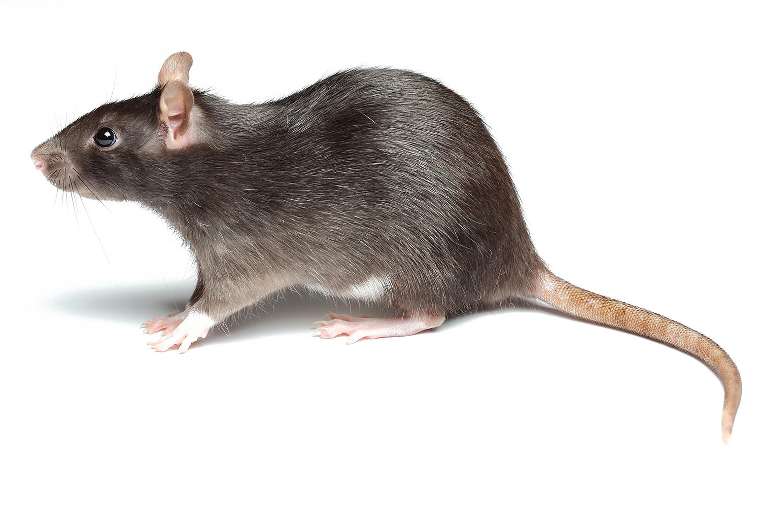 Rat PNG Transparent Images, Pictures, Photos.