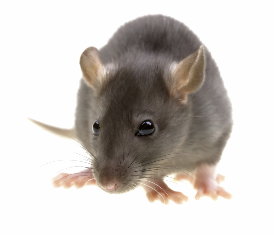 Rat Png Image With Transparent Background.