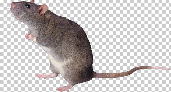 Rat PNG, Clipart, Mouse, Rat Free PNG Download.
