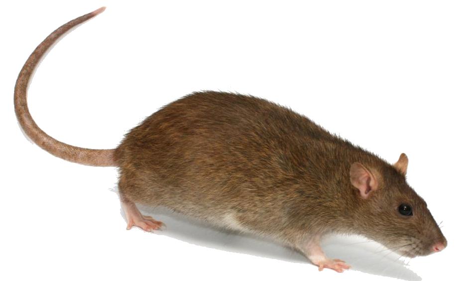 Download Rat PNG Transparent Image 362.