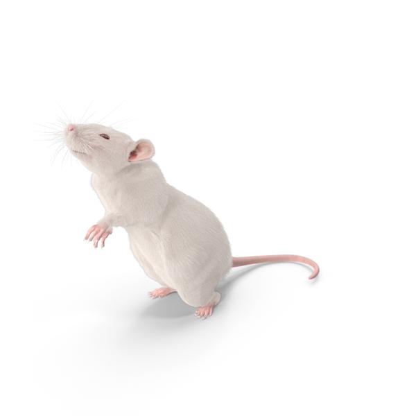 White Rat PNG Images & PSDs for Download.
