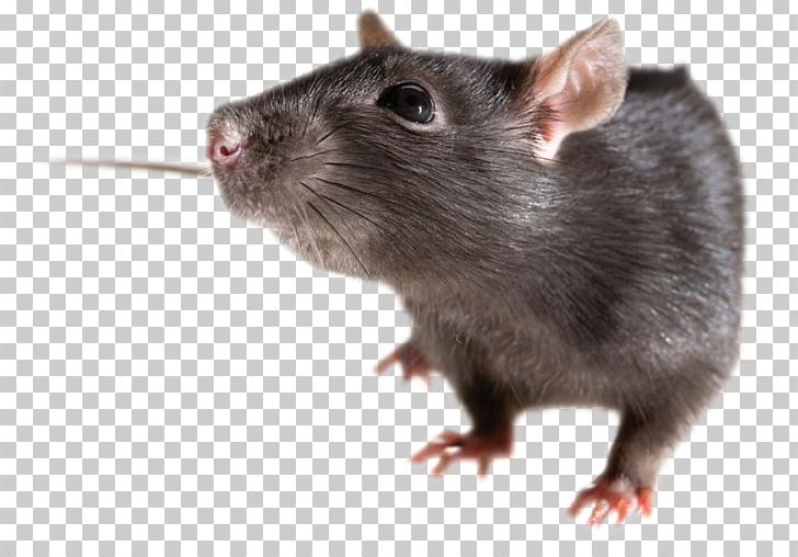 Rat PNG, Clipart, Mouse, Rat Free PNG Download.