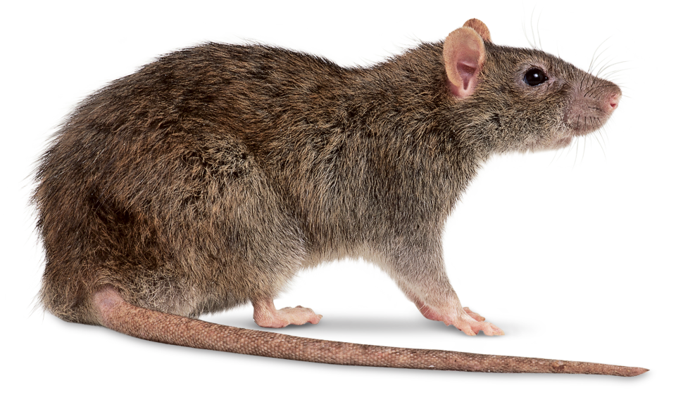 Download Rat PNG File.