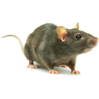 Download Rat Free PNG photo images and clipart.