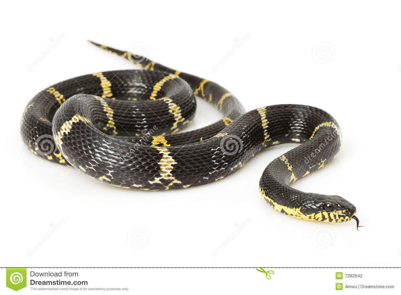 Yellow Rat Snake Stock Images.
