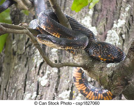 Rat snake Images and Stock Photos. 1,332 Rat snake photography and.
