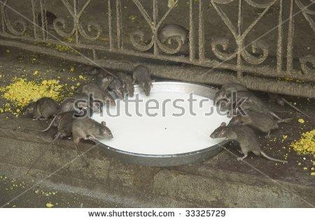 Rat Temple Stock Photos, Royalty.