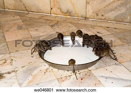 Stock Photography of Rats drinking milk in the Karni Mata Rat.