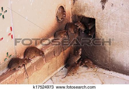 Stock Photo of Holy rats running around Karni Mata Temple, Deshnok.