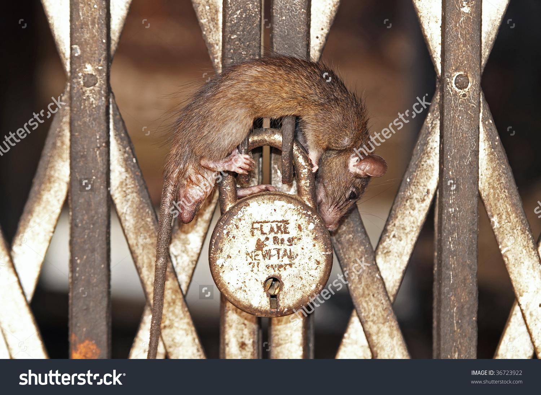 Rat Asleep On Padlocked Gate Inside Stock Photo 36723922.