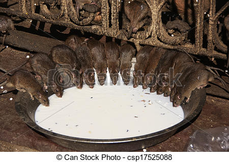 Pictures of Holy rats drinking milk from a bowl, Karni Mata Temple.