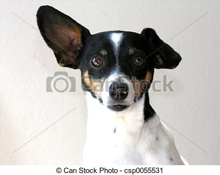 Rat terrier Images and Stock Photos. 58 Rat terrier photography.