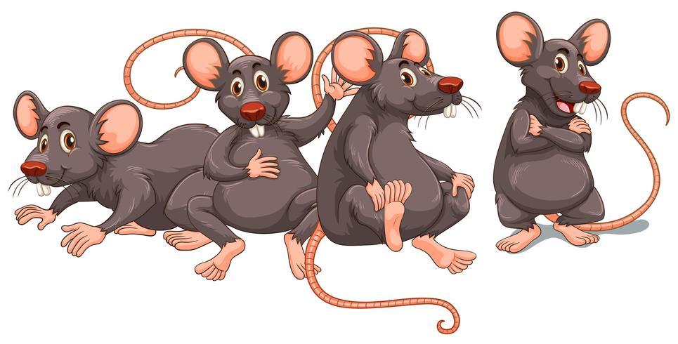 Vier Ratten mit grauem Fell.