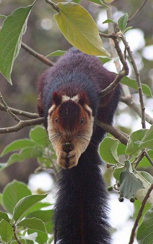 Indian Giant Squirrel / Malabar Giant Squirrel (Ratufa indica.