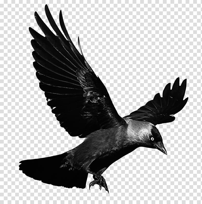 Crow illustration, Crows Flight , Raven Flying Background.