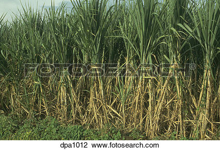 Stock Photo of Sugar cane crop ready for harvest in Maharashtra.