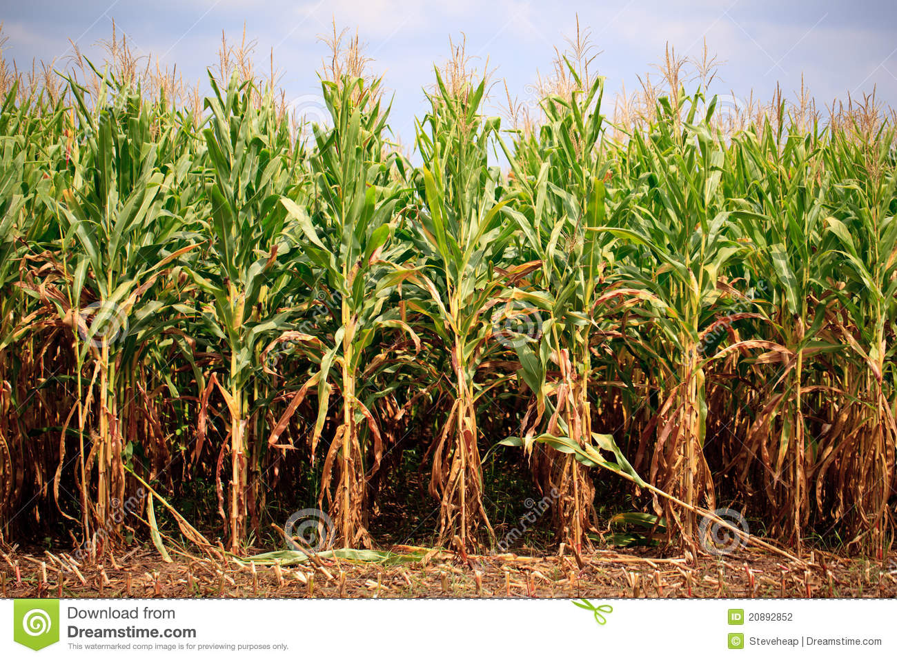 Rows Of Corn Ready For Harvest Stock Photography.