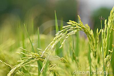 Rice Stalk Clipart.