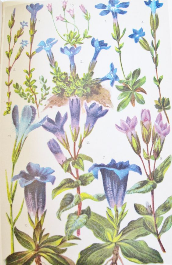 1950s ALPINE FLOWER Book, 26 Color Plates w 207 Flowers, Swiss.