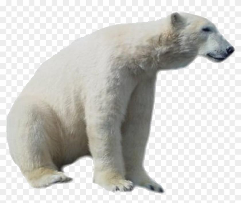 Polar Bear Png Hd.
