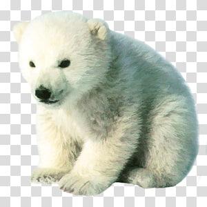Polar Bear Cubs transparent background PNG cliparts free.