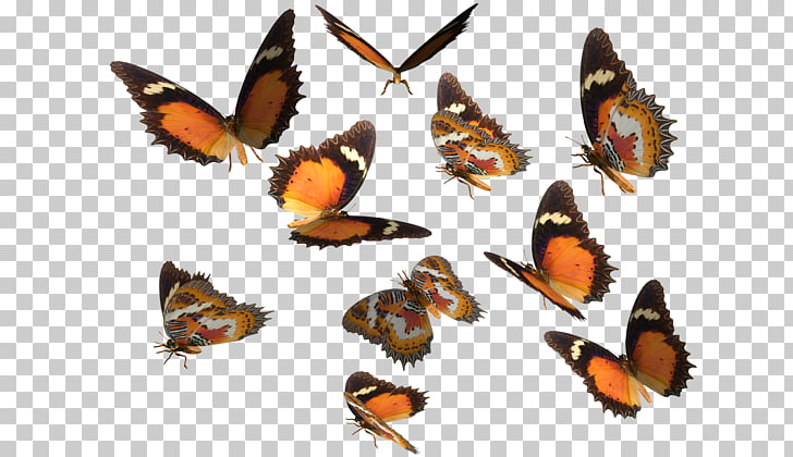 Monarch butterfly Greta oto , Real Butterfly s PNG clipart.