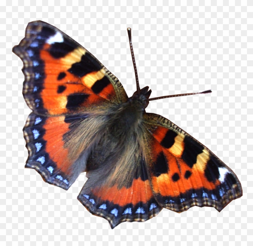 Miracle Real Pictures Of Butterflies Png 26546 Free.