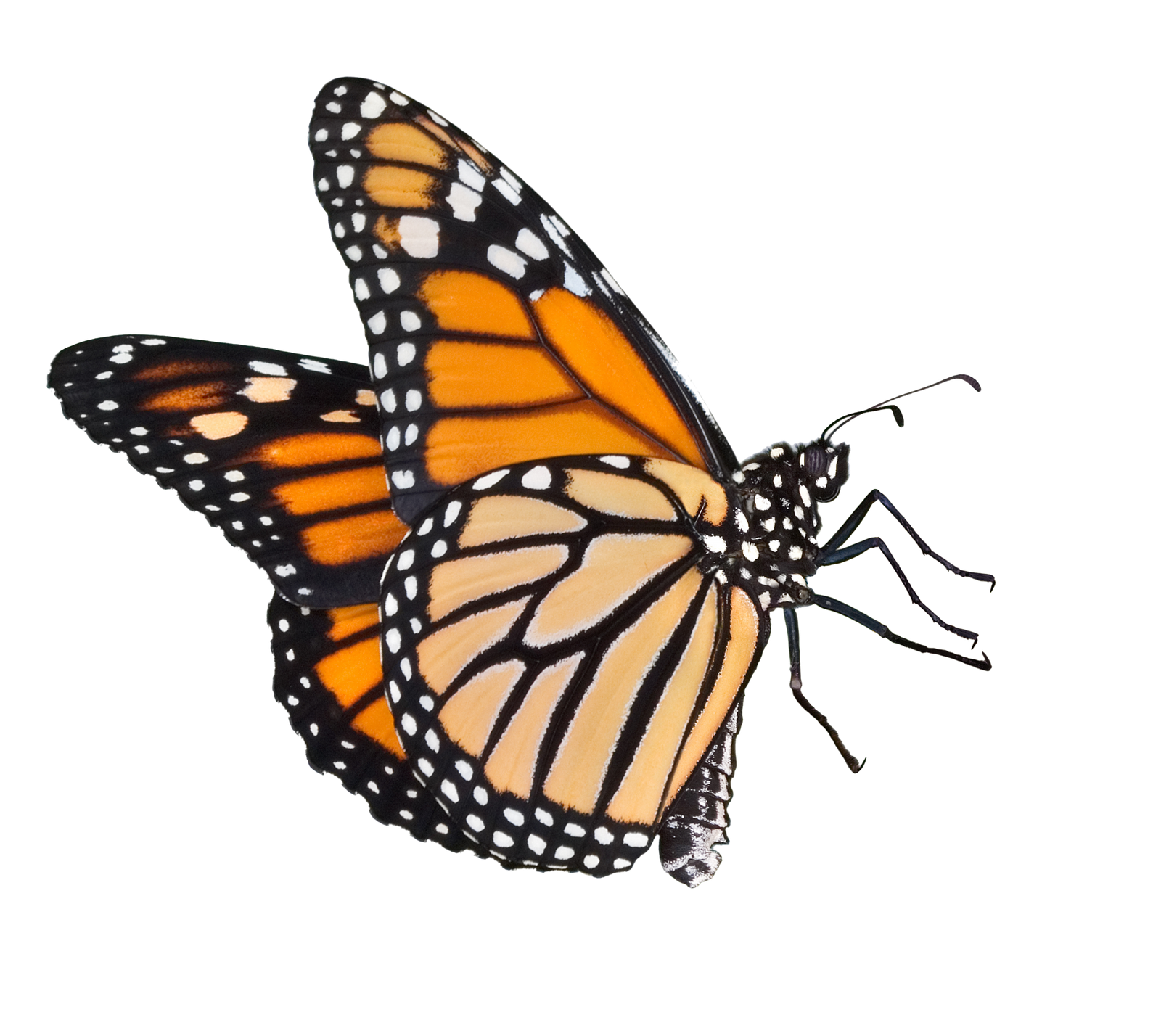 Realistic Butterfly Png Free & Free Realistic Butterfly.png.